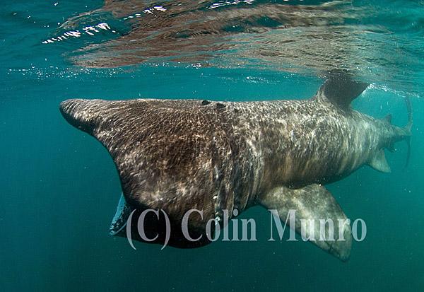 Basking shark, Cetorhinus maximus, feeding in surface waters.  Cornwall, UK. Colin Munro Photography