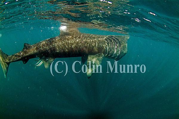Large basking shark, Cetorhinus maximus, feeding in surface waters.  Cornwall, UK. Colin Munro Photography