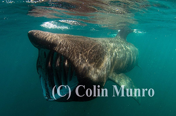 Basking shark, Cetorhinus maximus, feeding with mouth wide open