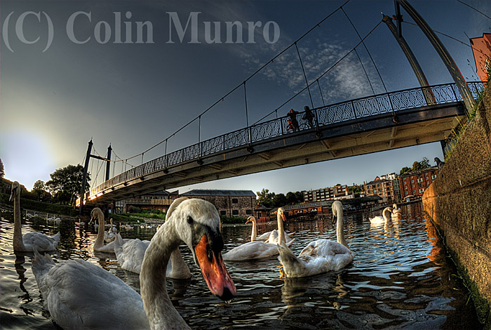 Mute swans (Cygnus olor) congregate under Cricklepit Bridge