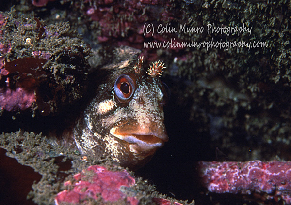 Close up of a Tompot Blenny, Parablennius gattorugine, peering out of a rock crevice. Colin Munro Photography.