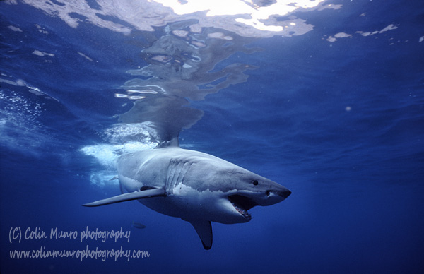 Great white shark, Carcharodon carcharias, lunging with jaws open. Colin Munro Photography.
