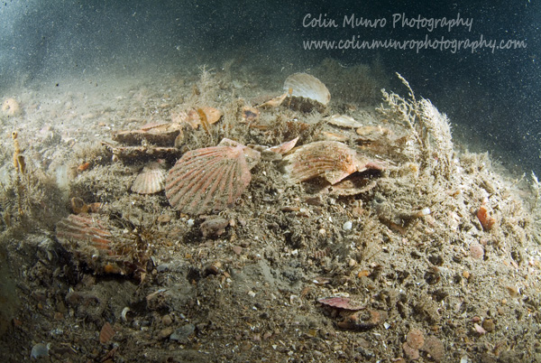 Empty and broken scallop shells swept in to a pile, possibly by thr raking action of dredges, on a heavily worked area. Lyme Bay. Colin Munro Photography.