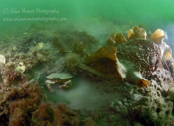 An edible crab, Cancer pagurus, digs in to algae covered sediment to create a depression in which to hide. Colin Munro Photography