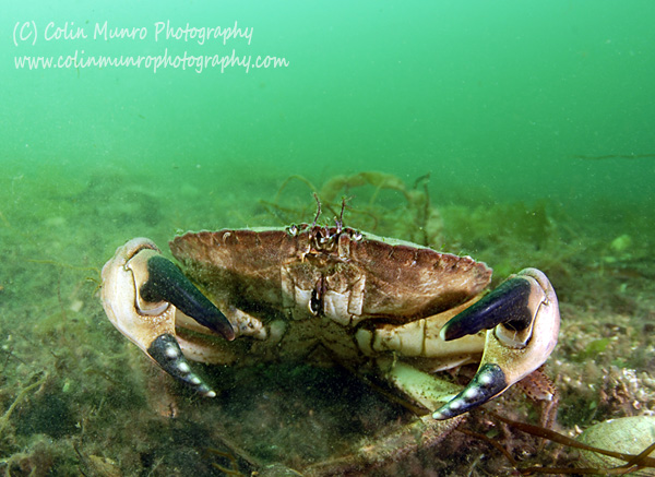 An edible crab, Cancer pagurus, raises its large heavy claws (chelipeds) adopting a defensive posture. Colin Munro Photography