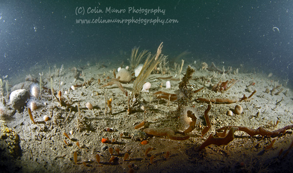 A sediment covered limestone reef in Lyme Bay, Southwest England showing the profusion of sediment tolerant species that grow on such reefs. Colin Munro Photography.