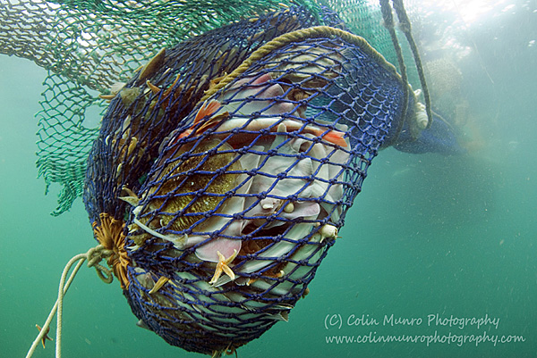 Close up of a trawl net, full of fish, as it is hauled to the surface. Bottom trawling is one of the most widespread, and most controversial, of fishing methods. colin Munro Photography