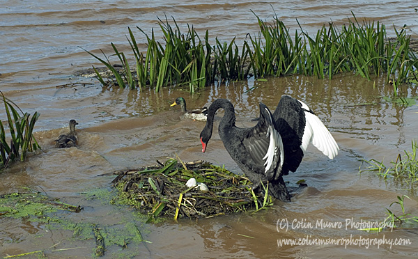 A black swan frantically tries to save her nest and eggs as the river water rises following torrential  rains. Colin Munro Photography