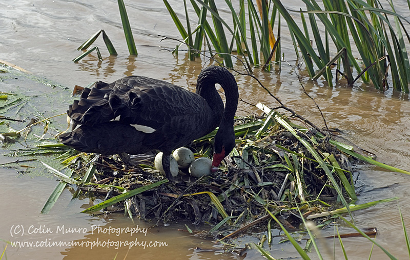 When It Rains It Swans >> Colinmunrophotography Com Blog Australian Black Swan