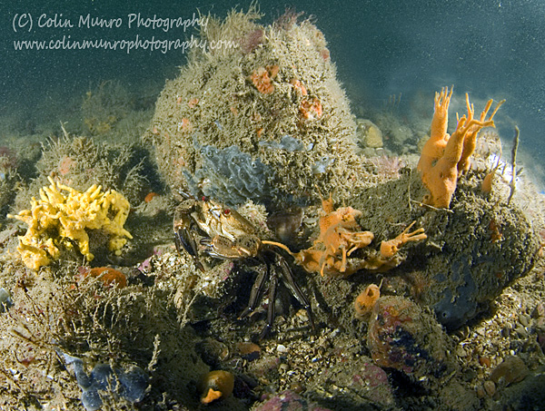 Lane's Ground Reef, a circalittoral boulder reef rich in sponges and and ascidians, within Lyme Bay Closed Area, Lyme Bay, southwest England. Colin Munro Photography. www.colinmunrophotography.com