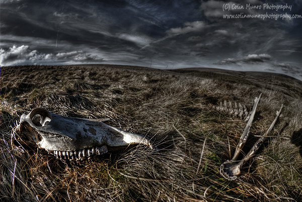 Skull and jawbone on a windswept moorland. Dartmoor, Devon. Colin Munro Photography