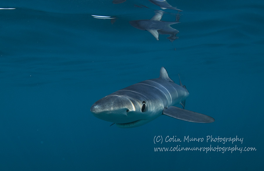 Blue shark, Prionace glauca. A female blue shark swimming close to the surface off Southwest Cornwall, UK.