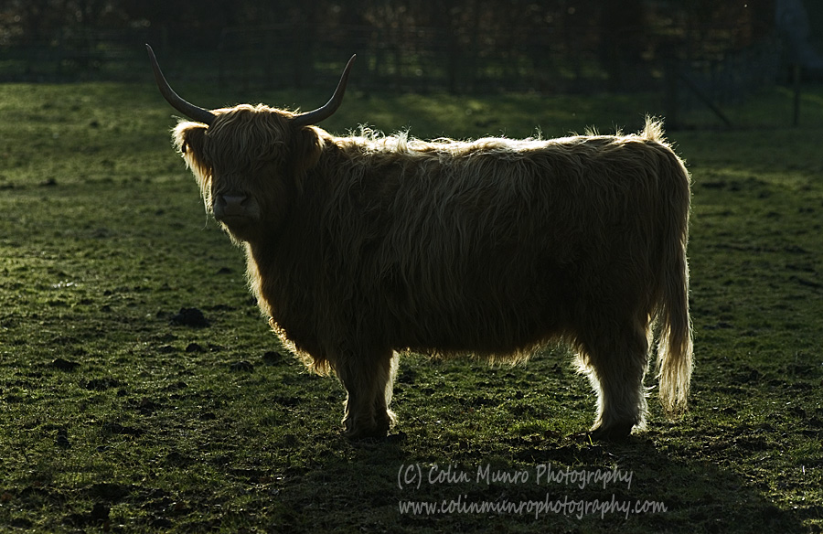 A highland cow in semi-silhouette, backlit by the setting sun. Colin Munro Photography