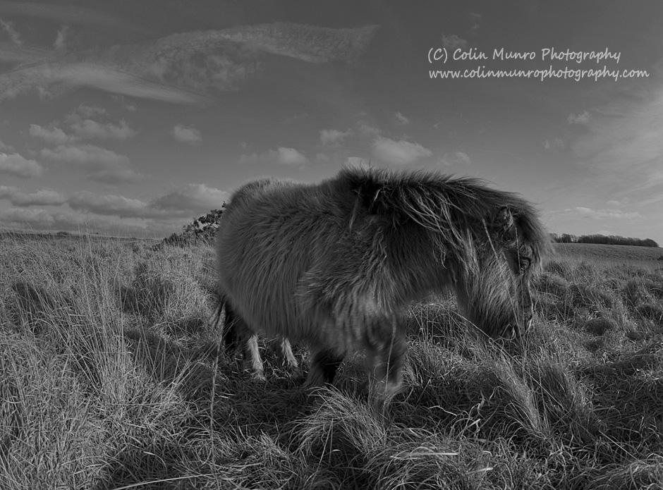 Dartmoor pony, Dartmoor, Devon, art print for sale