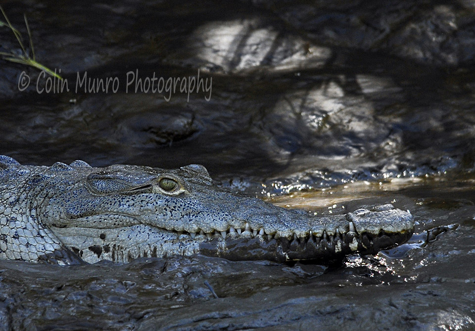 American crocodile (Crocodylus acutus) lying on a muddy river bank, Tempisque River, Costa Rica. www.colinmunroimages.com