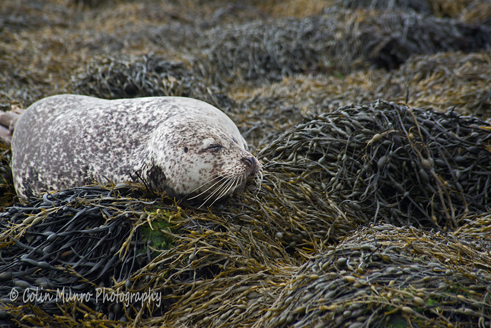Female common seal or harbour seal, Phoca vitulina,  dozing on the rocks, Dunvegan, Isle of Skye. Copyright Colin Munro Colin Munro Photography www.colinmunroimages.com