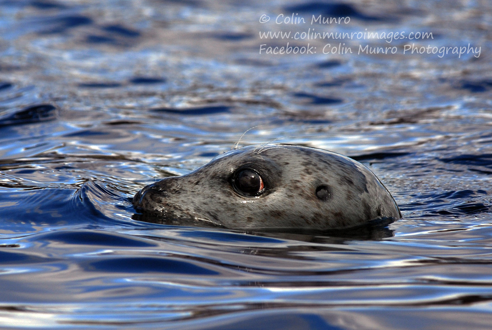 A common seal cruises with its eyes and nostrils just above the water. Dunvegan, Isle of Skye, Scotland. Copyright Colin Munro. www.colinmunroimages.com Colin Munro Photography