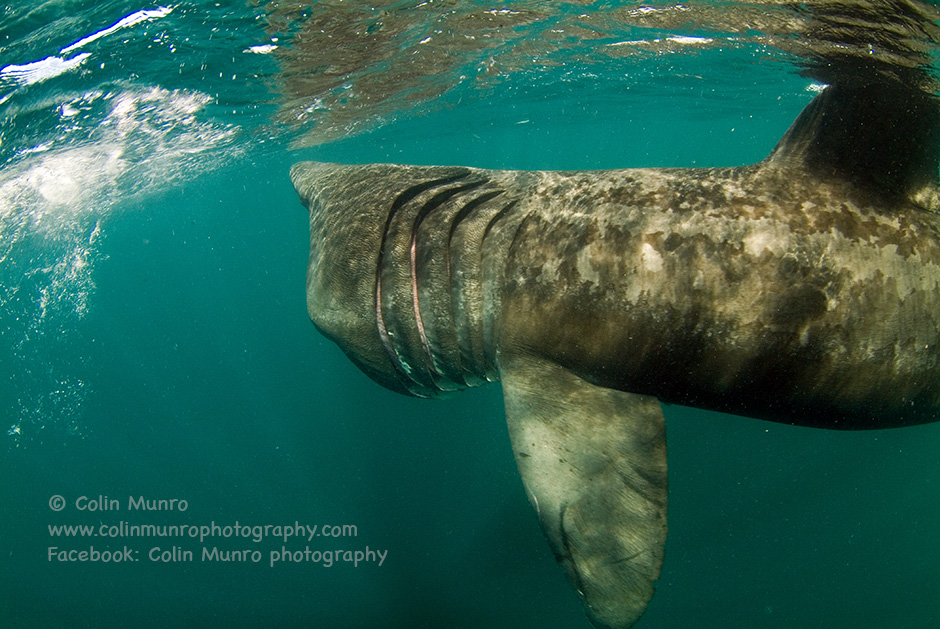 Basking shark feeding, showing large gill slits the almost encircle its head