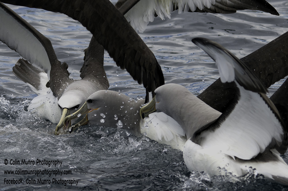 Albatross squabble over food. Kaikoura, New Zealand. Copyright Colin Munro Photography