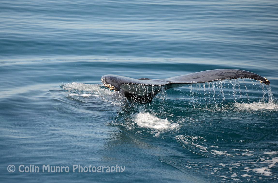 A humpback whale cruises along the surface.  Adele Island, Northwest Australia.