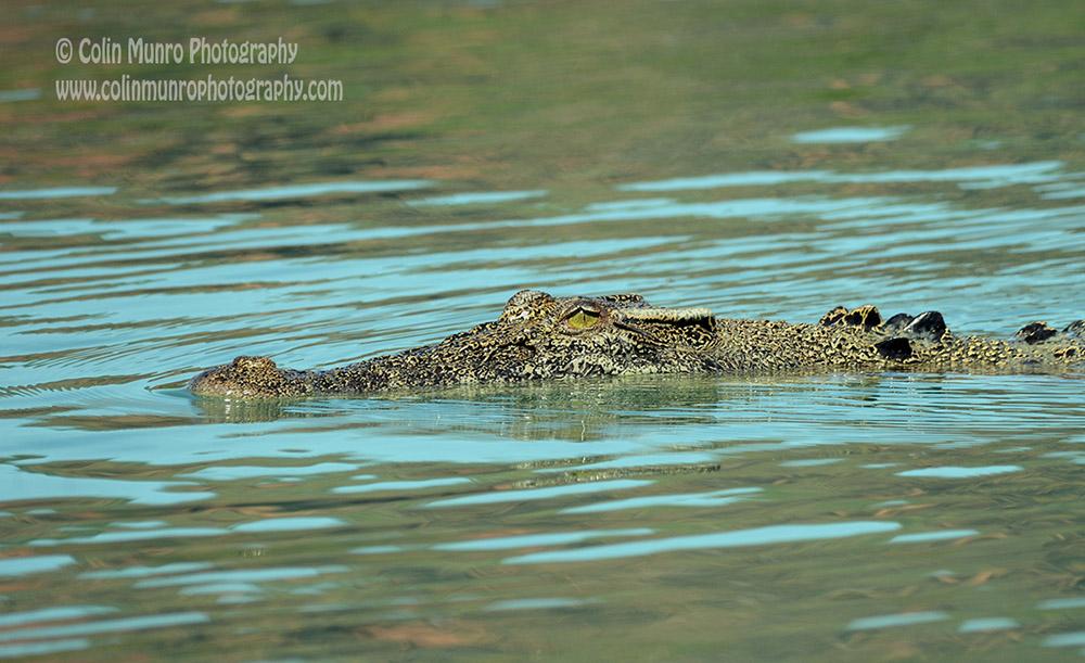 A saltwater crocodile cruises slowly along the surface, Hunter River, Western Australia.