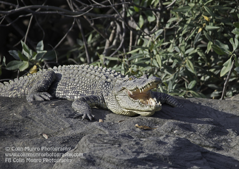 Saltwater crocodile basking on rocks, Hunter River, Kimberley