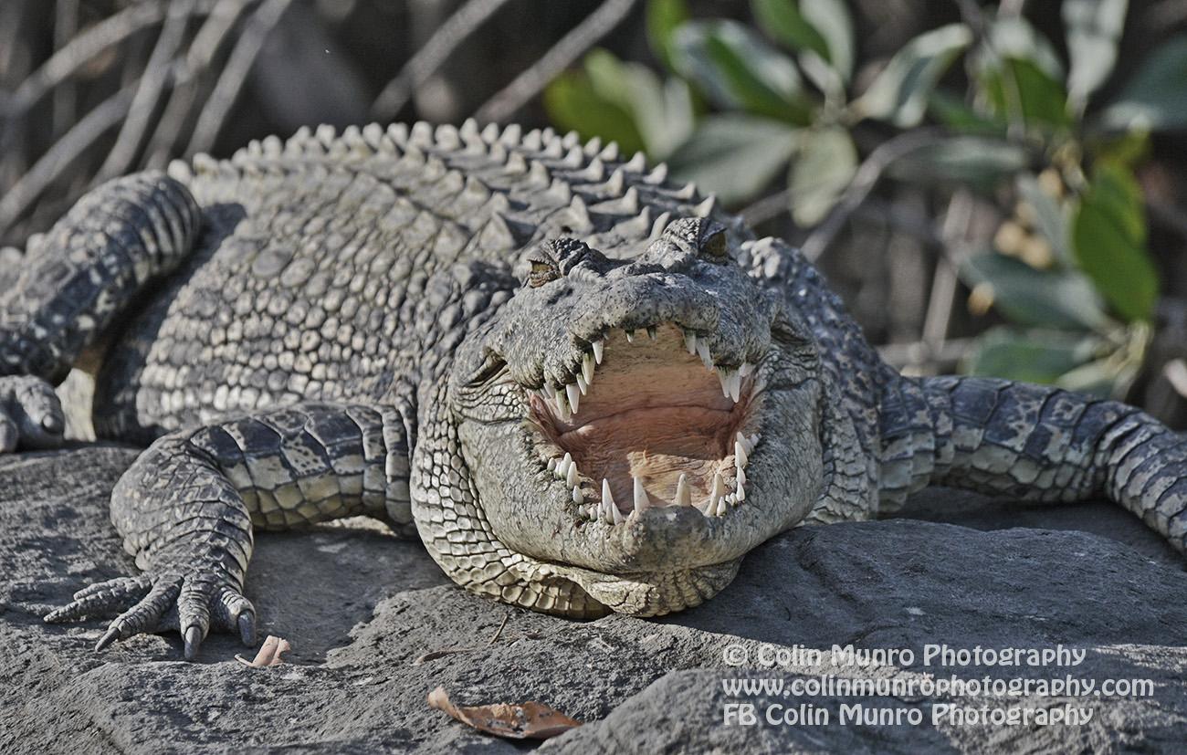 Saltwater crocodile, Hunter River, Kimberley