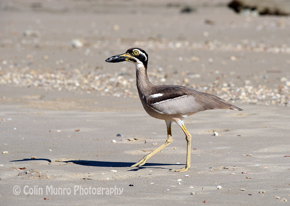 A beach stone curlew, Careening Bay