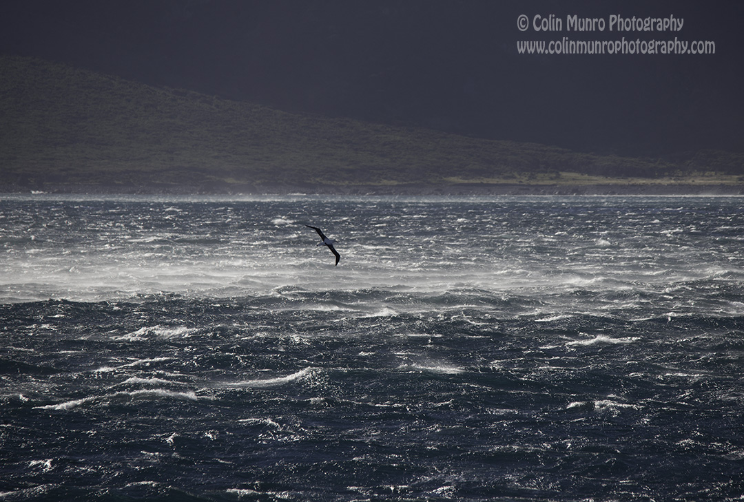 A royal albatross (Diomedea sp.) glides effortlessly as fierce winds spume off the wave tops. Cook Strait, New Zealand.