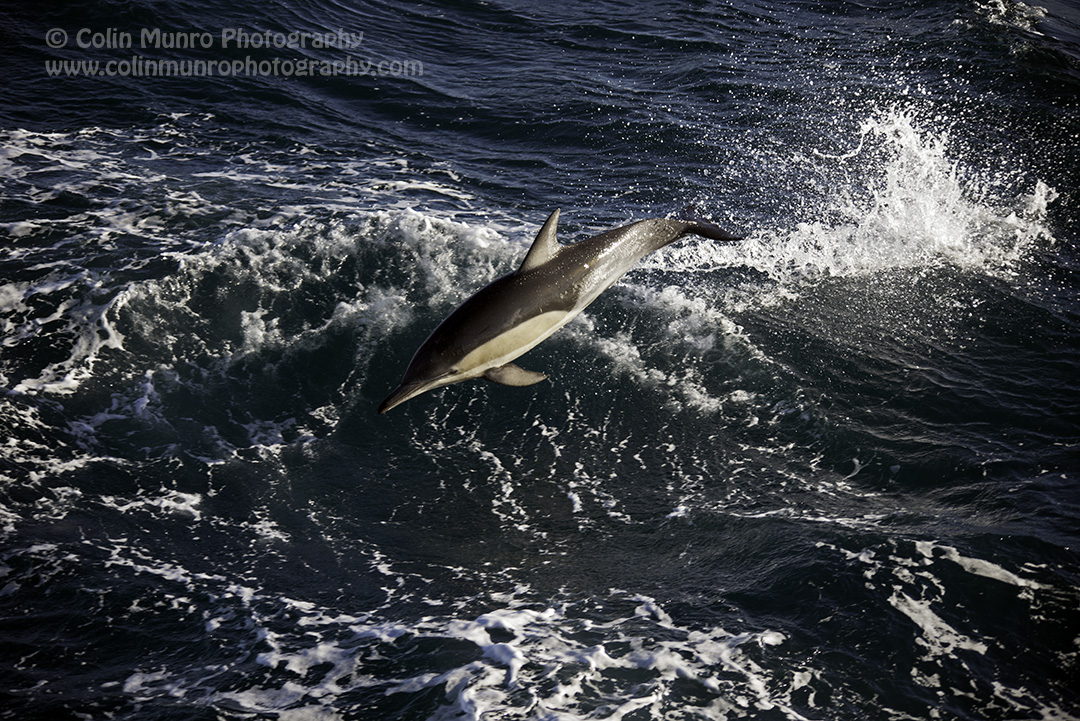 A short-beaked common dolphin,Delphinus delphis, off Cape Palliser, New Zealand.