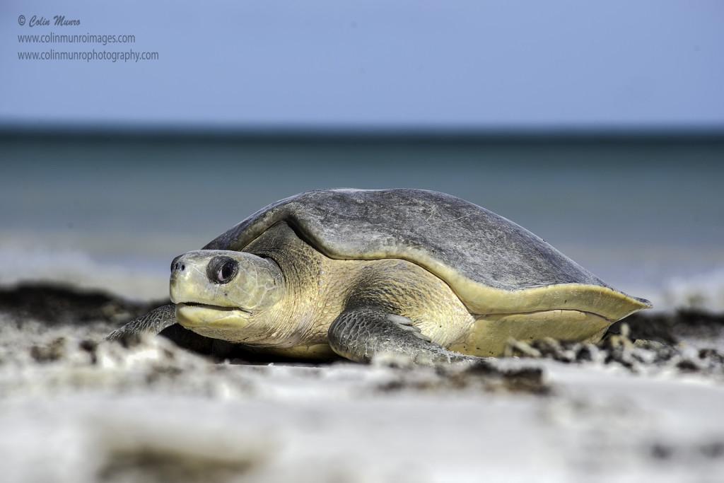 An Australian Flatback Turtle, Natator depressus, hauls itself up a deserted beach, Adele Island, Kimberley Coast, Northern Australia. © Colin Munro www.colinmunrophotography.com