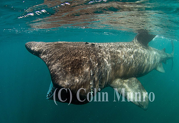 Basking shark, Cetorhinus maximus, feeding in surface waters.  Cornwall, UK. Colin Munro Photography