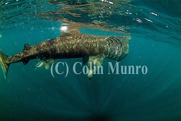 Large basking shark, Cetorhinus maximus, feeding in surface waters.  Cornwall, UK. Colin Munro Photography