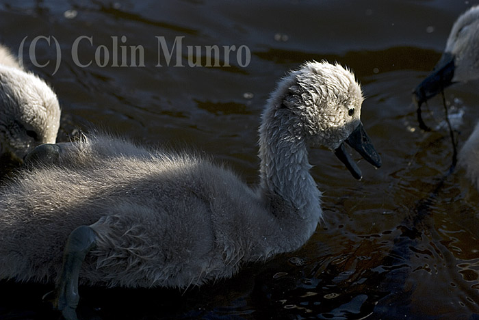 Mute swan cygnet (Cygnus olor) only a few days or weeks old.