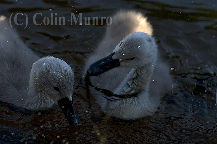 Mute swan cygnets (Cygnus olor) feeding in shallows.