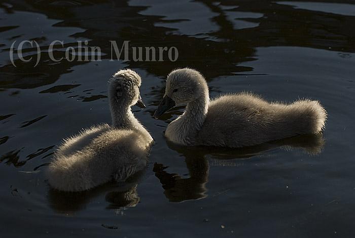 Mute swan cygnets (Cygnus olor) swimming.