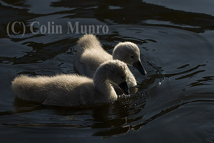 A pair of mute swan (Cygnus olor) cygnets swimming, Exeter Ship Canal.