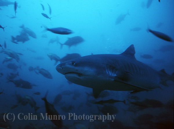 Close up of a large female Tiger Shark  known as;Scarface; swimming at around 30 metres depth, Beqa Lagoon, Fiji.  Image MBI000474.
