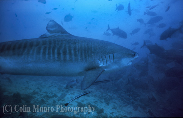 A large female tiger shark, Galeocerdo cuvier, cruising near the seabed, beqa lagoon, Fiji. Image No. MBI000484