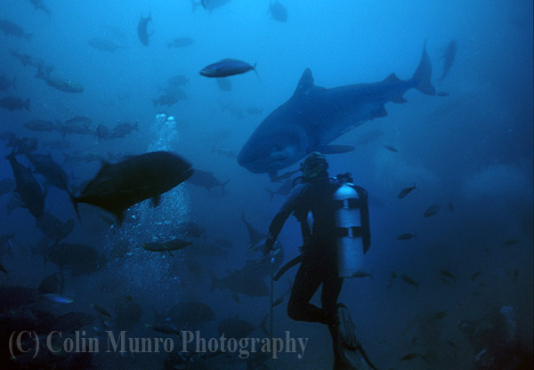 Large tiger shark, Galeocerdo cuvier, swimming towards diver, Beqa Lagoon, Fiji. Image MBI000486.