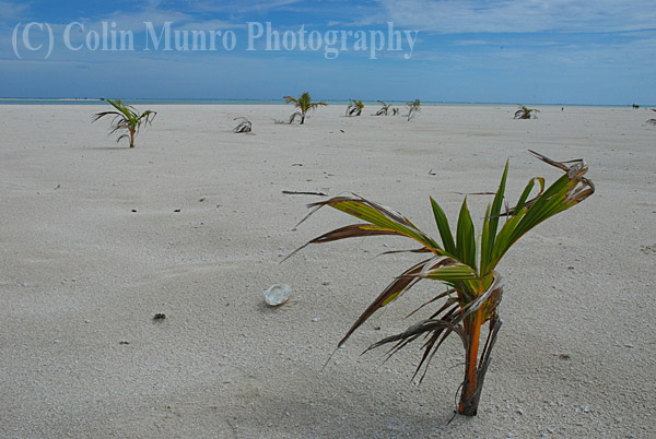 Recently germinated coconut palms trees ( Cocos nucifera) on a white sand beach, Tapuaetai island (one foot island), Aitutaki atoll, Cook Islands, South Pacific. Image MBI000904.