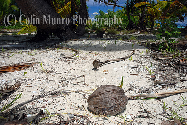 Recently germinated coconut ( Cocos nucifera) on a white sand beach. Image MBI000907.