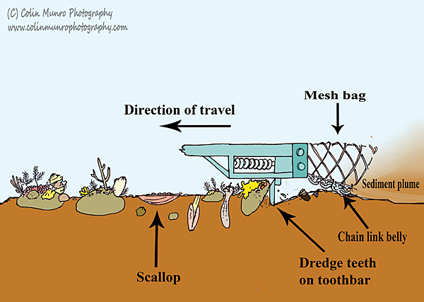 Illustration showing the key parts of a spring-loaded scallop dredge and how it works on the seabed, including how it affects marine life on boulder reefs. Colin Munro Photography
