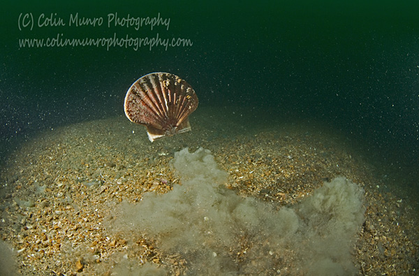 A scallop, Pecten maximus, swim away from a perceived threat. Gravel waves, Lyme Bay, Southwest England. (C) Colin Munro Photography