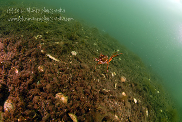 Swimming crab, Liocarcinus depurator, swimming in mid-water.  This crab is also known as the harbour crab, blue-legged swimming crab and sandy swimming crab. Colin Munro Photography.