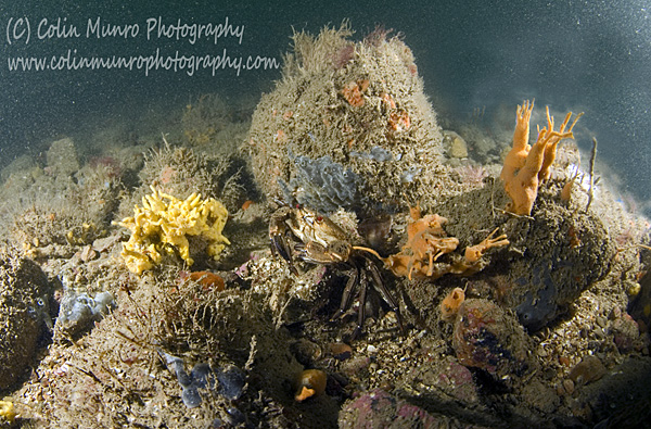Lane's Ground Reef, a circalittoral boulder reef rich in sponges and ascidians, within Lyme Bay Closed Area, Lyme Bay, southwest England. Colin Munro Photography