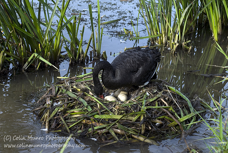 A black swan tends her eggs in the nest she has constructed along the banks of the River Exe. Colin Munro Photography