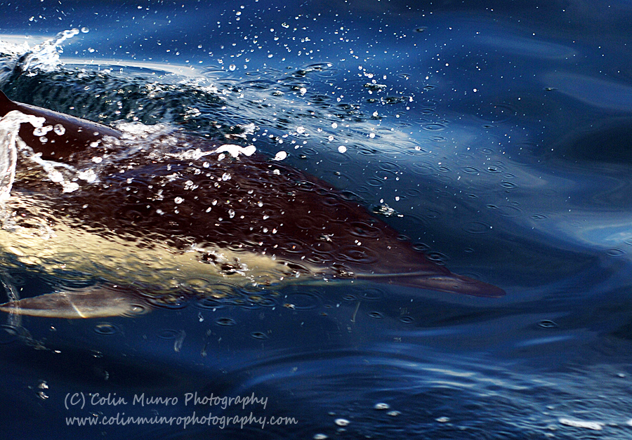 Common dolphin (Delphinus delphis) swimming at high speed. Colin munro Photography