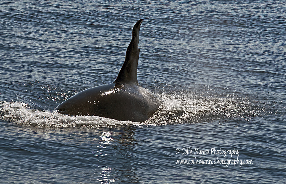 Male orca cruising off the Lofoten Islands, Norway. copyright Colin Munro