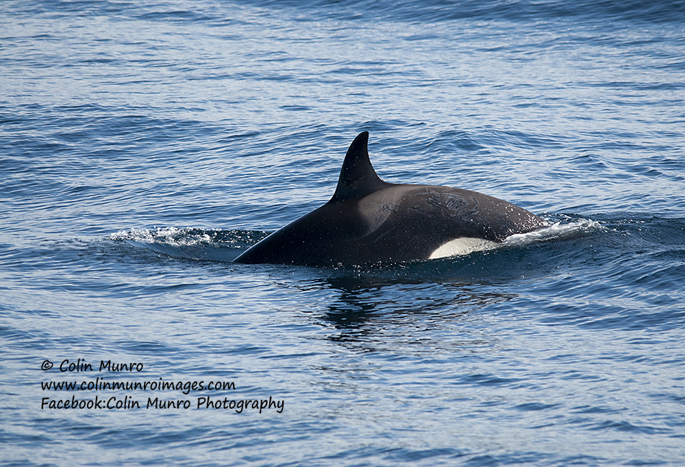 A female orca (or killer whale) Orcinus orca, cruising along near the Lofoten Islands, Norway.
